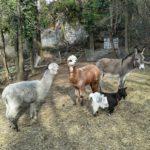 Alpaca in malga Kraun Trentino