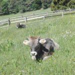 Mucche in malga Kraun Trentino